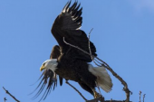 نفوق خمسة من طيور النسر الأصلع في ديلاوير بأمريكا