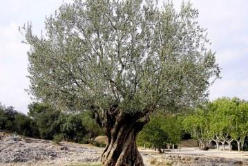 شجرة الزيتون ومواجهة آثار التغيرات المناخية