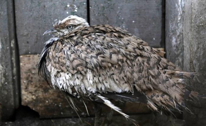 إنتاج أول فرخ من طائر الحبارى العربي باستخدام تقنية التلقيح الاصطناعي للمرة الأولى لهذا الطائر على المستوى العالمي