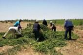 """الأونسا""""بمساعدة السلطات المحلية تتلف حقول النعناع التي تبث استخدام أصحابها لمبيدات غير مرخصة"""