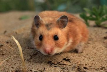 """تجربة """"مير 19"""" العقار الروسي الجديد المضاد لكورونا على """"الفئران السورية"""" تؤكد فعاليته."""